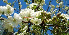 Efectele tăierilor corecte asupra fructificării cireşului | Paradis Verde