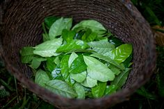 The next superfood is brewing deep in the Ecuadorian Amazon. Guayusa tea packs twice the antioxidants of green tea and as much caffeine as a cup of coffee. Local Kichwa people have long steeped the...