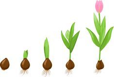 Germination Stock Illustrations, Vecteurs, & Clipart – Stock Illustrations) - Page 4 Spring Activities, Science Activities, Activities For Kids, Montessori, Free Printable Art, Preschool Education, School Lessons, Life Cycles, Colouring Pages
