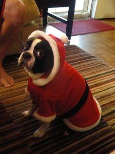 Santa Butters - Boston Terrier