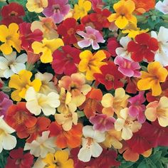 Mimulus 60 Seeds Magic Mixed