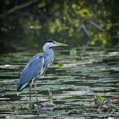 Skykishrain - Blue Heron