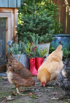 The chickens are happier rooting around for bugs and worms than sitting in a cage. I'm sure they taste better too.