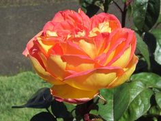 Centennial Star - Hybrid Tea Roses - Heirloom Roses