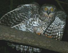 1 metre tall Powerful Owl, Australia