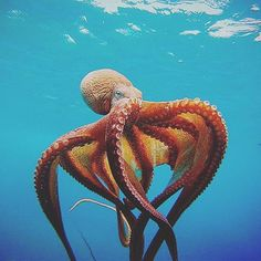 This is my inspirational image. I was looking at sea creatures and found this stunning octopus and I knew I want to create a character inspired from this octopus. Underwater Creatures, Underwater Life, Underwater Animals, Underwater Photos, Beautiful Sea Creatures, Animals Beautiful, Cool Sea Creatures, Majestic Animals, Unique Animals