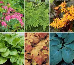 Bold Foundation Garden for Shade. Hosta Sum and Substance; Hosta Elegans (puckered blue-gray leaves); Ligularia (mahogany leaves and yellow flowers); Lady Ferns; Bleeding Hearts; and honey-apricot leaves of Coral Bells.