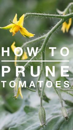 How to Prune Tomatoe