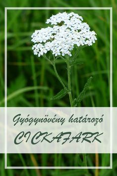 Yarrow Number 1 Herb for Womens Diseases Yarrow(Achilea millefoilium) is herb is no. It is important to drink a cup of Yarrow tea as for young, … Holistic Remedies, Natural Home Remedies, Herbal Remedies, Alternative Health, Alternative Medicine, Natural Medicine, Herbal Medicine, Health Facts, Women's Health
