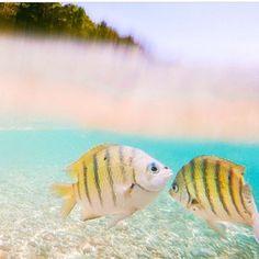 Beautiful capture by @the_wanderinglens at Blue Pearl Bay at Hayman Island. Fishy kisses! #whitsundayescape #fishies #whitsundays #sailing #underthesea