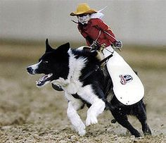 Monkey Riding A Border Collie