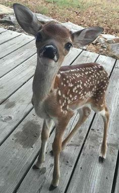 baby deer so cute Cute Creatures, Beautiful Creatures, Animals Beautiful, Cute Baby Animals, Animals And Pets, Funny Animals, Exotic Animals, Wild Animals, Tier Fotos
