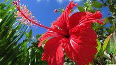Соцветия гибискуса распускаются только на один день