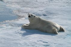 Why hello there big fellow!  Extremely relaxed polar bear, ready for his close-up.  From a recent Arctic expedition - photo by passenger Heidi V. Vote for the Polar Bear at polarbig5.com!