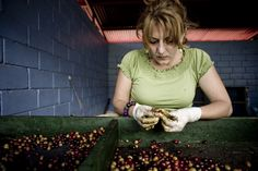 Quality controlling the coffee cherries Throughout The World, Growing Plants, Cherries, Farmer, Sustainability, Coffee, Maraschino Cherries, Kaffee, Cherry Fruit