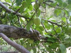 """Abandoned homesteads can be areas of """"wild"""" fruits and vegetables to harvest"""