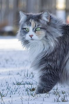 Norwegian forest cat, Maine coon or siberian cat. Pretty Cats, Beautiful Cats, Animals Beautiful, Cute Animals, Pretty Kitty, Animals Images, Beautiful Person, Baby Animals, Beautiful Pictures