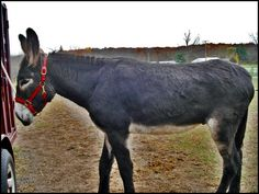 5 year old mammoth gelding, black with white points