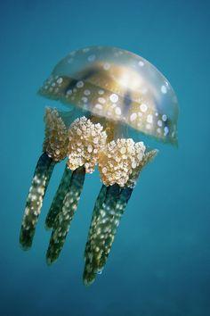 Papuan Jellyfish - ©Hiroya Minakuchi (via FineArtAmerica)-love the detail in this shot.