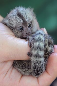 Newborn marmoset fits in the palm of your hand #animals