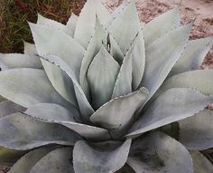 Agave ovatifolia Sierra Lampazos