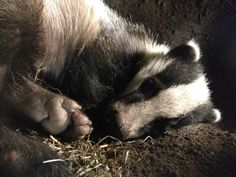 Sleeping badger