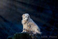 Night walk🌛#bestwoof #dog #dogsofinstagram #woof #dogstagram #hund #dogsofdenmark #hundeliv #hundidk #moonlight #night #gåturmedhunden #luftetur #hundetræning #hundeskov #hundefotografering #mennesketsbedsteven #dog_spotted #excellent_dogs #asta_photo #bestfrienddkmodellerne #hundefoto #great_captures_dogs #goldenretriever #golden  #goldens_ofinstagram #canondanmark  #canon_photos