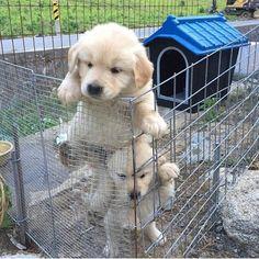 WAHOO IT'S WEEKEND... LET'S GET OUT   CREDIT: unkown Please dm for Credit  #weeklyfluff #labrador   #freitagsfluff  @starbucksde #labradorpuppy #couplegoals   #dogsofinstagram  #pupbox #barkbox #topdogphoto #goldenretriever #goldensofinstagram #animaladdict  #dogs #ilove_goldenretrievers #retrieversgram #love #bae #lovegoals #dog  #retriever #goldenpuppy  #photooftheday ************************