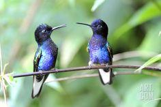 Velvet-Purple Coronet Hummingbird Premium Poster by duelune at Art.com