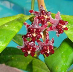 Hoya lazaroi Cutting SRQ 3213 [3213x] - $20.00 : Buy Hoya Plants Online in Many Species from SRQ Hoyas Today!