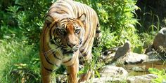 Indian Student Killed By Tiger in Zoo!!!!......was it a case of Lazy Response