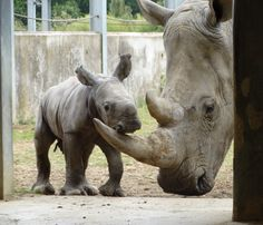 On August 18, Cotswold Wildlife Park, in the UK, had a rather unexpected arrival. Their Southern White Rhino, Nancy, gave birth to her second calf. Keepers knew Nancy was pregnant, but the actual time of birth came as a bit of a surprise and was a little earlier than expected. Check out ZooBorns to learn more and see more! http://www.zooborns.com/zooborns/2015/08/rhino-calf-crashes-the-party-at-cotswold-wildlife-park.html