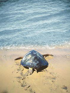 Sea Turtle, Magdalena Bay, Baja California Sur, Mexico