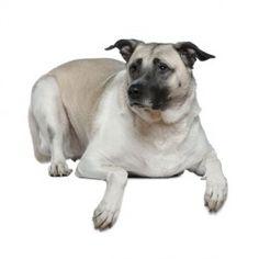 Il Pastore dell'Anatolia è un cane di taglia grande dall'indole vivace ed intelligente. Non adatto alla vita in appartamento, il cane preferisce gli spazi aperti in cui può correre e divertirsi, anche a contatto con i bambini.