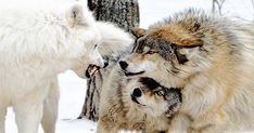 The female wolf appears to hide under the male.She's actually covering his throat from their assailant,whilst pretending to be scared. Animals And Pets, Funny Animals, Cute Animals, Beautiful Creatures, Animals Beautiful, Wolf Love, She Wolf, Beautiful Wolves, Wild Dogs