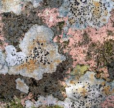 pink lichen - there really isn't a colour that lichen doesn't come in Natural Forms, Natural Texture, Patterns In Nature, Textures Patterns, Mushroom Fungi, Mushrooms, Growth And Decay, Plant Fungus, Tree Bark