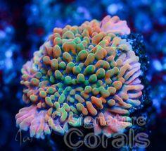Jason Fox Signature Corals Altered Ego Monti