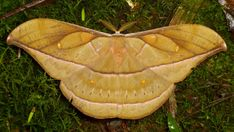Saturniid Moth, Copaxa decrescens or rufinans? Cool Insects, Flying Insects, Bugs And Insects, Beautiful Bugs, Beautiful Butterflies, Amazing Nature, Caterpillar Eggs, Cool Bugs, Flying Flowers