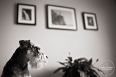 Toby, in profile, in the kitchen  #schnauzer