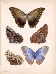 Butterflies and Moths ~ 1879-1901.  Free for educational and personal use only.