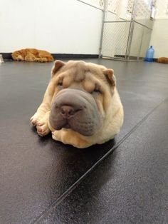 Enzo, my super cute Shar Pei