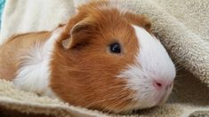 Tips for Cuy Training and Handling - Manual Created by Wee Companions Small Animal Adoption & Los Angeles Guinea Pig Rescue Guinea Pig Care, Guinea Pigs, Animal Adoption, Pet Adoption, Happy Animals, Cute Animals, Starting A Farm, Raising Farm Animals, Cute Piggies