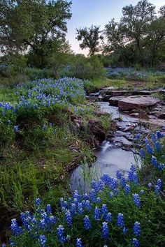 """Bluebonnet Creek"", Mason County, Texas - Bluebonnets line a small creek in the Texas Hill Country. Beautiful World, Beautiful Places, Beautiful Pictures, Mason County, Texas Bluebonnets, Texas Hill Country, Blue Bonnets, Jolie Photo, Beautiful Landscapes"