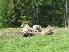 Ganz nah an die Kühe ran