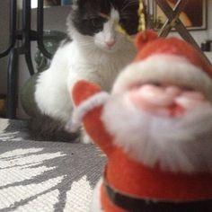Molly's victim #mollypetitcoeur #kitten #kittens #kitty #cat #cats #catstagram #animals #pets #petstagram #funny #cute #cuteness #santclaus #victim #attack #gatinhos #gatiros #gattini #kattungar #katjes #miaou #meow #minou #toutdoux #molly
