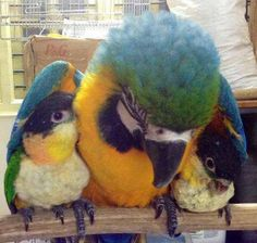 Blue and Gold Macaw and two Caiques