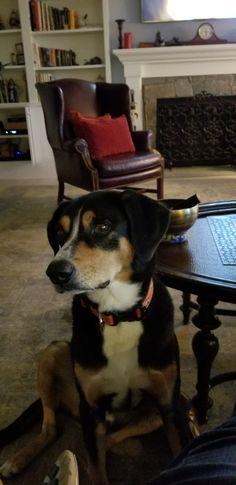 Entlebucher Mountain Dog, Mountain Dogs, Animals, Animales, Animaux, Animal, Animais