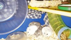 Happy Hamster family - little ones about to move out to their own dwellings #aww #Cutehamsters #hamster #hamstersofpinterest #boopthesnoot #cuddle #fluffy #animals #aww #socute #derp #cute #bestfriend #itssofluffy #rodents
