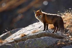 Rencontre alpine avec un renard (translation: alpine meeting with a fox)