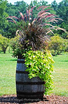 Wine Barrel - Photo by David Wetzel. The Pennisetum and sweet potato vine are classic, never getting old. by shauna Container Flowers, Container Plants, Container Gardening, Wine Barrel Planter, Garden Planters, Lawn And Garden, Garden Projects, Diy Projects, Amazing Gardens